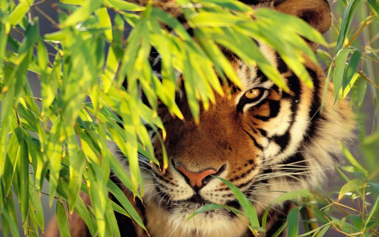 Tiger-Apple-Free-HD-Wallpaper-Full-Screen-Wallpaper